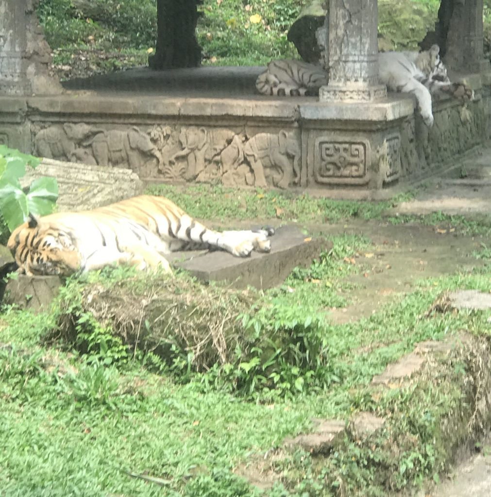 See tigers from a touching distance 1