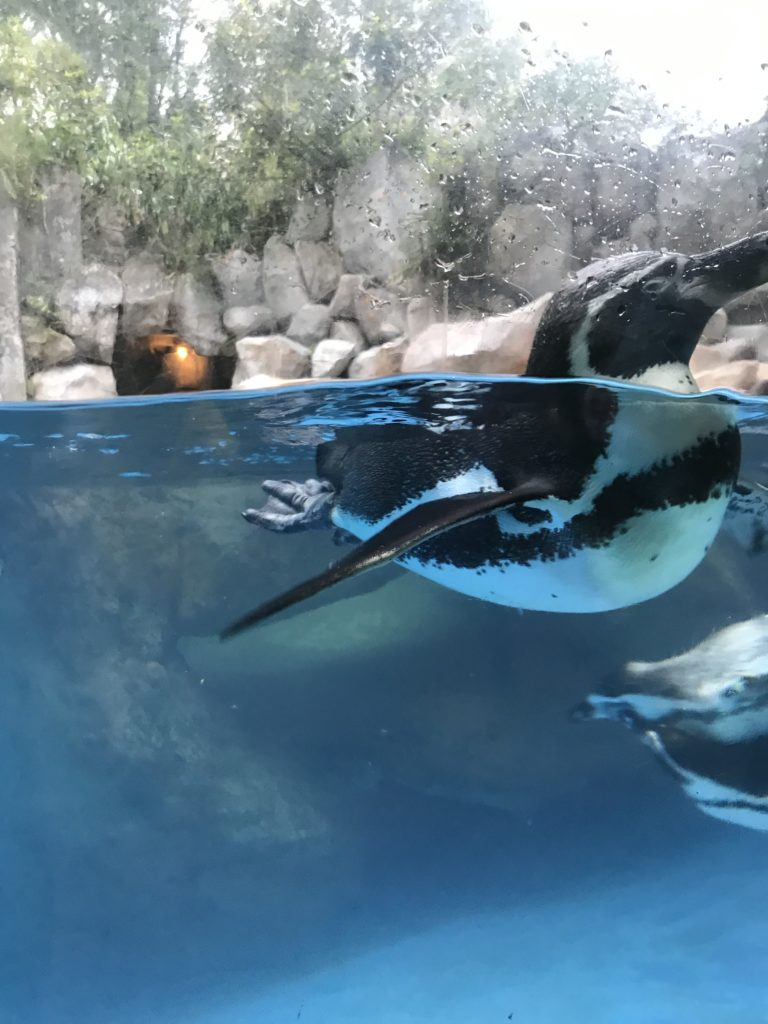 Penguins flopping around